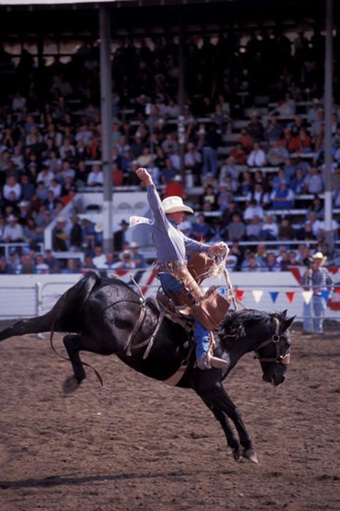 Stock Photo: 4163-3316 USA, WASHINGTON, ELLENSBURG RODEO, COWBOY RIDING A BUCKING BRONCO, (HORSE)