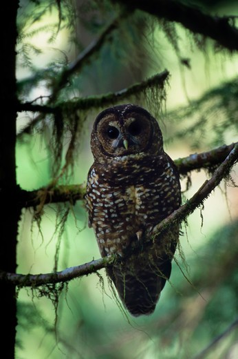 Stock Photo: 4163-3494 USA, WASHINGTON, OLYMPIC NATIONAL FOREST, OLD GROWTH RAIN FOREST, SPOTTED OWL, ENDANGERED