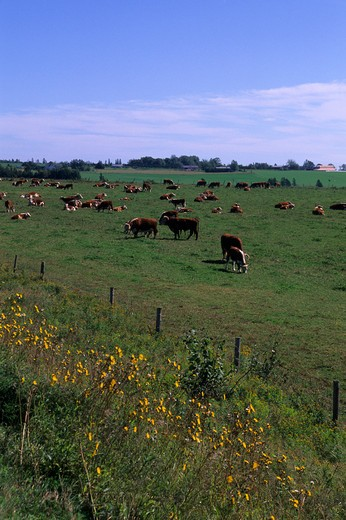 Stock Photo: 4163-4416 CANADA, PRINCE EDWARD ISLAND, NEAR ORWELL, HERFORD CATTLE
