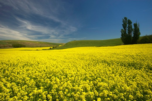USA, WASHINGTON STATE, PALOUSE COUNTRY, CANOLA FIELD : Stock Photo