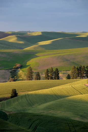 USA, WASHINGTON STATE, PALOUSE COUNTRY NEAR PULLMAN, VIEW OF ROLLING HILLS, FIELDS IN EVENING LIGHT : Stock Photo