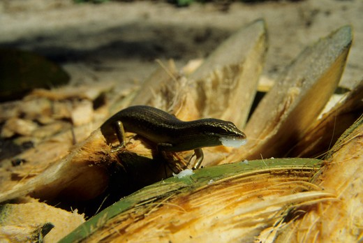 AFRICA, SEYCHELLES, ARIDE ISLAND, SEYCHELLES SKINK EATING COCONUT : Stock Photo