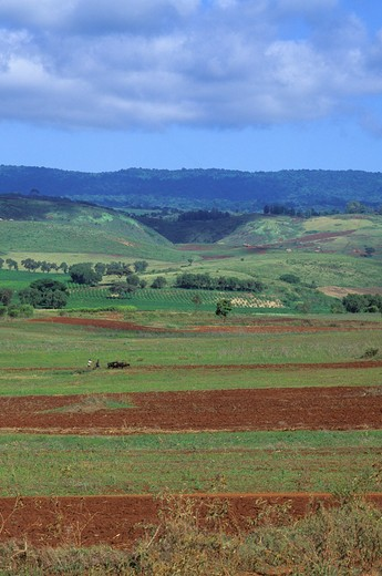 TANZANIA, NEAR ARUSHA, AGRICULTURAL FIELDS, MEN PLOWING FIELD : Stock Photo