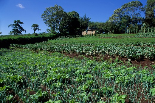 TANZANIA, NEAR ARUSHA, AGRICULTURAL FIELDS WITH ARTICHOKES, ONIONS AND OTHER VEGETABLES : Stock Photo