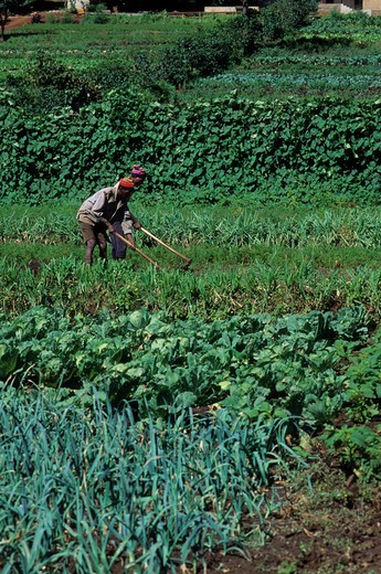 TANZANIA, NEAR ARUSHA, PEOPLE WORKING IN VEGETABLE FIELDS : Stock Photo