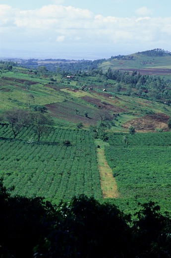 Stock Photo: 4163-6319 TANZANIA, NEAR ARUSHA, COFFEE PLANTATION