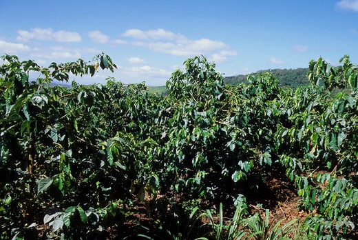 TANZANIA, NEAR ARUSHA, COFFEE PLANTATION, COFFEE BUSHES : Stock Photo