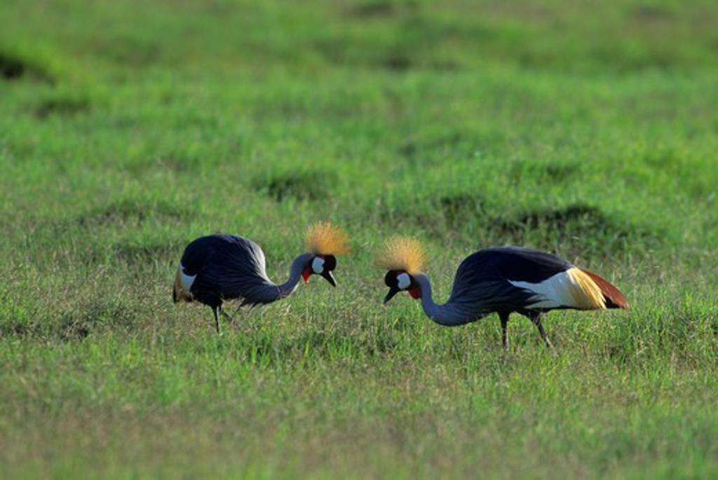 KENYA, AMBOSELI NATIONAL PARK, CROWNED CRANES FEEDING ON GRASS : Stock Photo