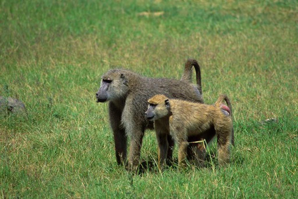 Stock Photo: 4163-6351 KENYA, AMBOSELI NATIONAL PARK, YELLOW BABOONS (Papio cynocephalus), MALE & FEMALE