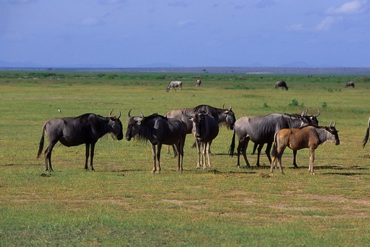 KENYA, AMBOSELI NATIONAL PARK, WILDEBEESTS : Stock Photo