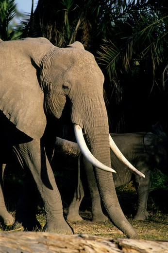 KENYA, AMBOSELI NAT'L PARK ELEPHANT : Stock Photo