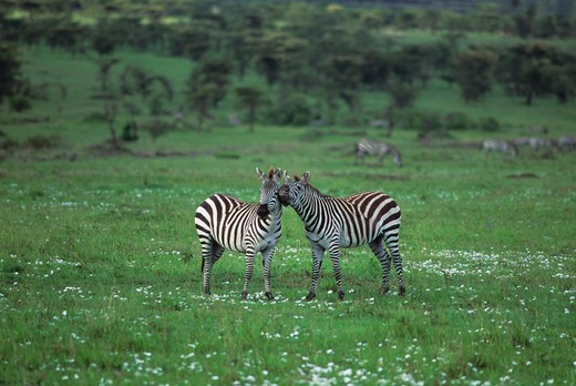 KENYA, MASAI MARA, ZEBRAS PLAYING, WASTEPAPER FLOWERS : Stock Photo
