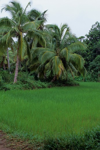 Stock Photo: 4163-6551 MADAGASCAR, ILE AUX NATTES, RICE FIELD