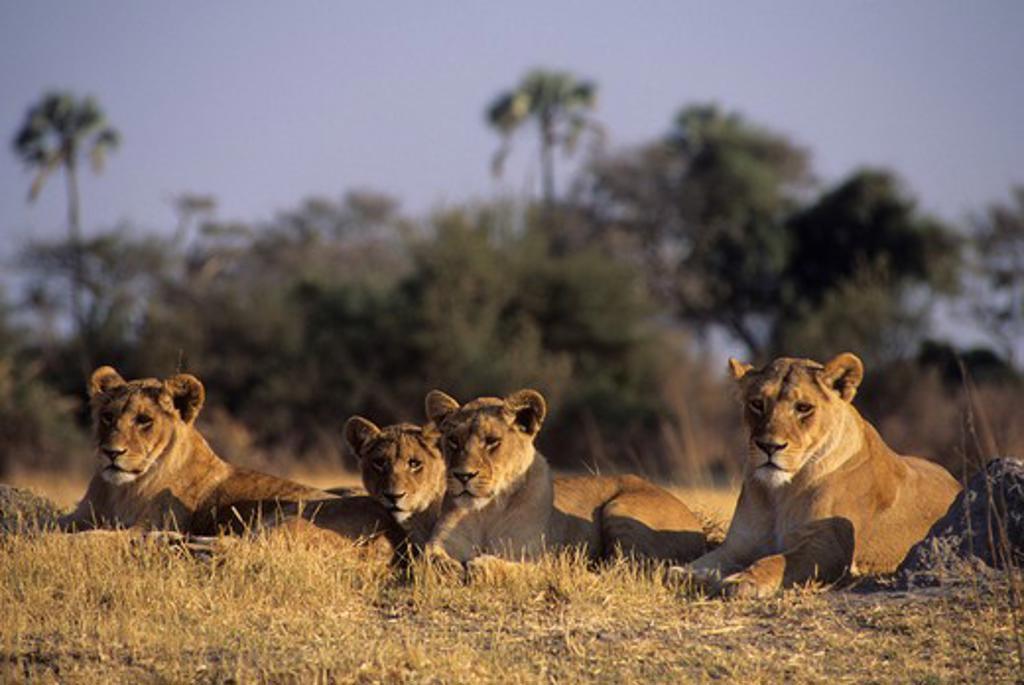 BOTSWANA, OKAVANGO DELTA, MOMBO ISLAND, LIONS : Stock Photo