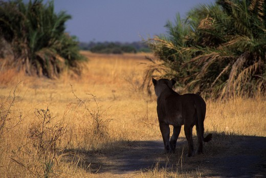 BOTSWANA, OKAVANGO DELTA, MOMBO ISLAND, LIONESS LOOKING FOR PREY : Stock Photo