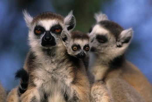 MADAGASCAR, BERENTY, BERENTY LODGE, RING-TAILED LEMURS WITH BABY : Stock Photo