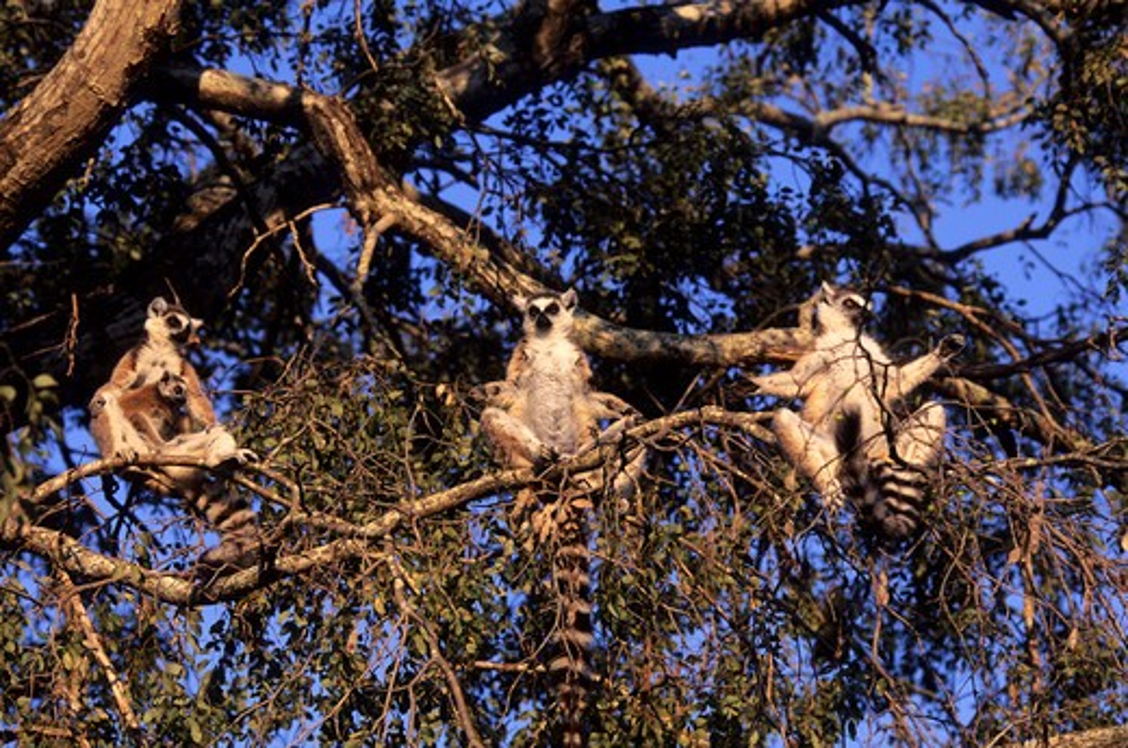 Stock Photo: 4163-6869 MADAGASCAR, BERENTY, RING-TAILED LEMURS WARMING UP IN MORNING SUNSHINE