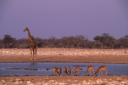 Stock Photo: 4163-7709 AFRICA, NAMIBIA, ETOSHA NATIONAL PARK, GIRAFFE AND IMPALAS AT WATERHOLE