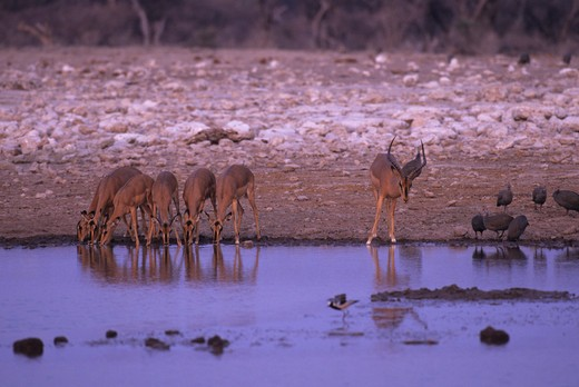 AFRICA, NAMIBIA, ETOSHA NATIONAL PARK, BLACK-FACED IMPALAS AT WATERHOLE : Stock Photo
