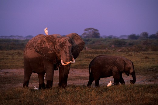 KENYA, AMBOSELI NATIONAL PARK, ELEPHANTS GRAZING : Stock Photo