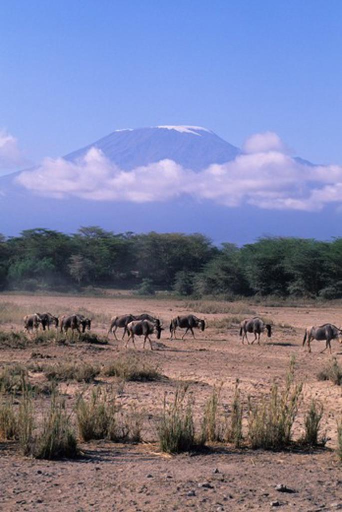 KENYA, AMBOSELI NATIONAL PARK, WILDEBEESTE, MT. KILIMANJARO IN BACKGROUND : Stock Photo