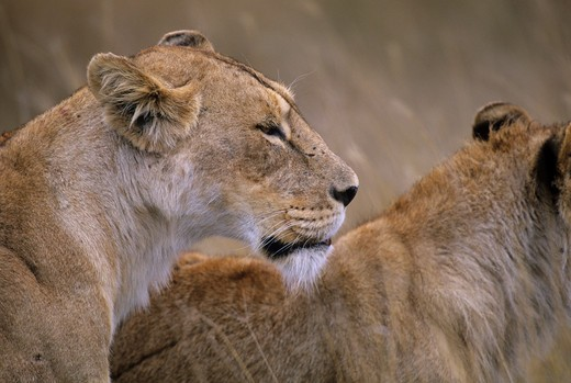 TANZANIA, NGORONGORO CRATER, LIONESS, PORTRAIT : Stock Photo