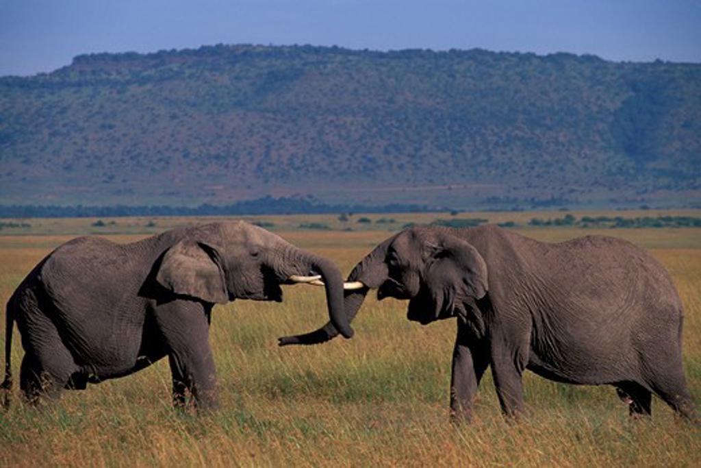 Stock Photo: 4163-8075 KENYA, MASAI MARA, GRASSLAND, ELEPHANT BULLS (MALES), SPARRING