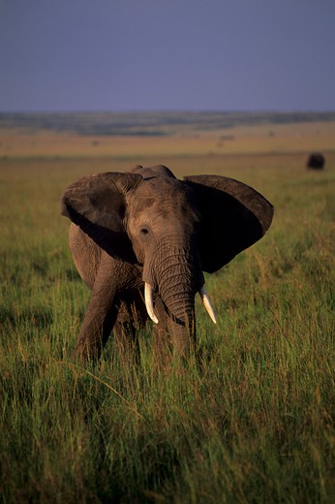 KENYA, MASAI MARA, GRASSLAND, ELEPHANT : Stock Photo