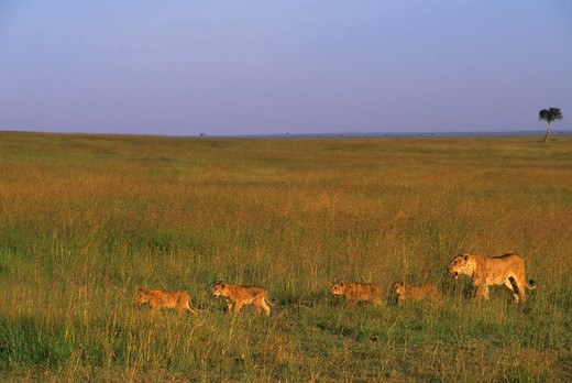 KENYA, MASAI MARA, PRIDE OF LIONS WALKING THROUGH GRASS, HUNTING FOR FOOD : Stock Photo