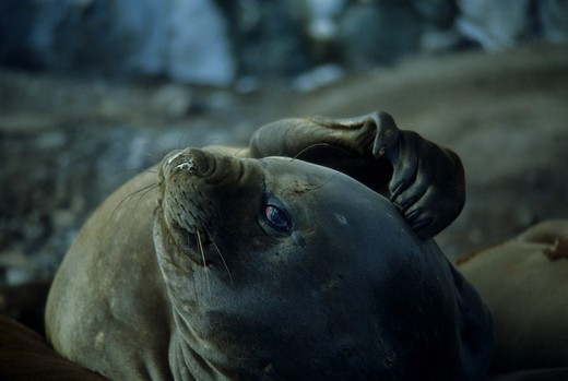 Stock Photo: 4163-8725 ANTARCTICA, ELEPHANT SEAL SCRATCHING HEAD WITH FLIPPER
