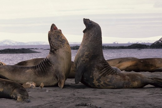 Stock Photo: 4163-8978 ANTARCTICA, SOUTH SHETLAND ISLANDS, KING GEORGE ISLAND, LION'S RUMP, ELEPHANT SEALS ON BEACH FIGHTING