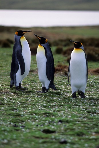 FALKLAND ISLANDS, VOLUNTEER POINT, KING PENGUIN COLONY : Stock Photo