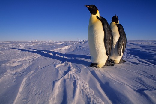 ANTARCTICA, ATKA ICEPORT, EMPEROR PENGUINS ON FAST ICE : Stock Photo
