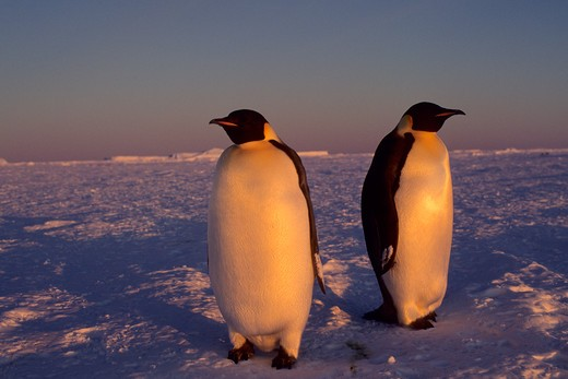 ANTARCTICA, ATKA ICEPORT, EMPEROR PENGUINS ON FAST ICE, MIDNIGHT SUNSHINE . : Stock Photo