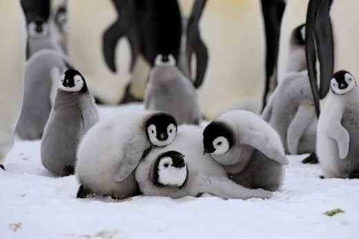 ANTARCTICA, WEDDELL SEA, SNOW HILL ISLAND, EMPEROR PENGUIN COLONY Aptenodytes forsteri, GROUP OF CHICKS : Stock Photo