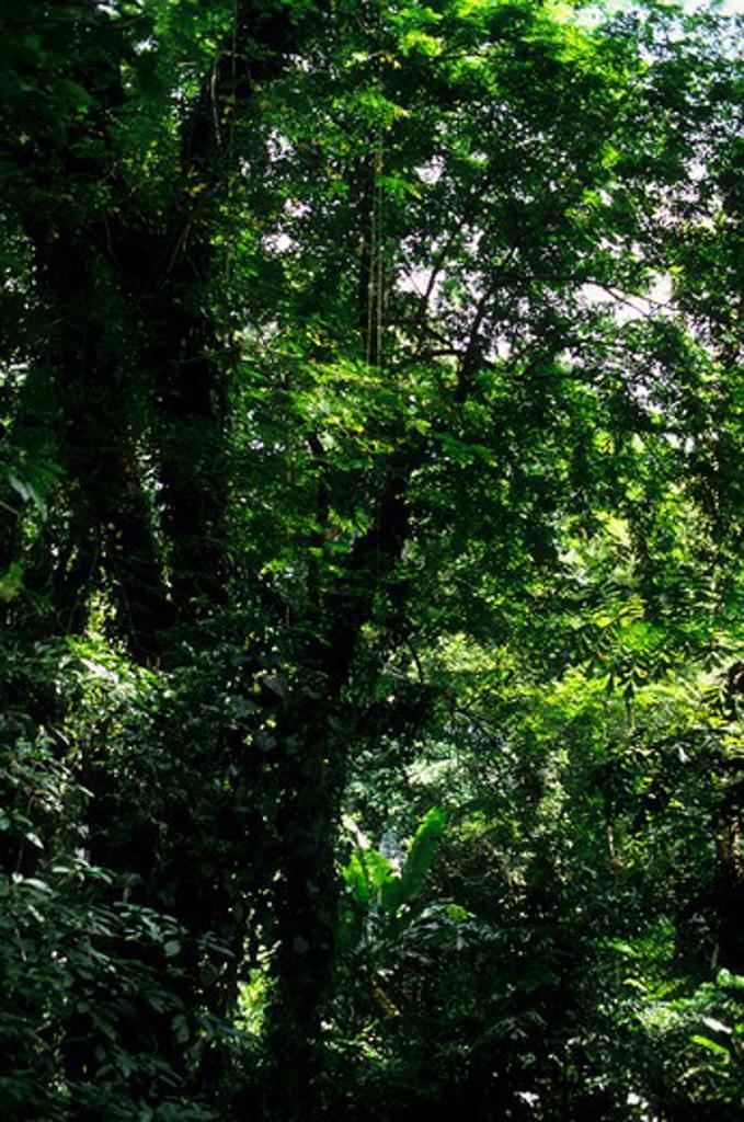 ASIA, INDONESIA, SUMATRA, TROPICAL RAIN FOREST : Stock Photo