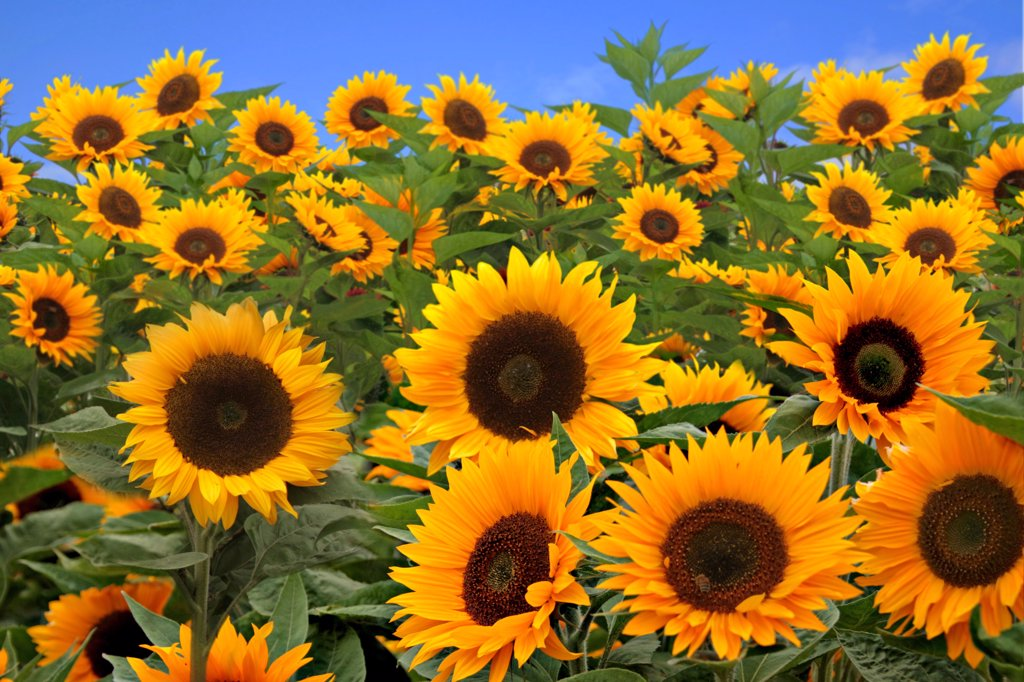 Stock Photo: 4165R-1764 Field of Bright Happy Sunflowers Outside on a Sunny Day