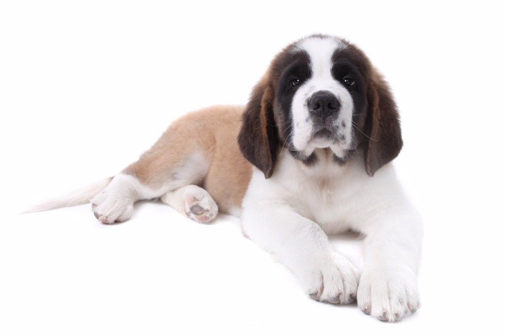 Puppy Saint Bernard on a White Backgroud : Stock Photo