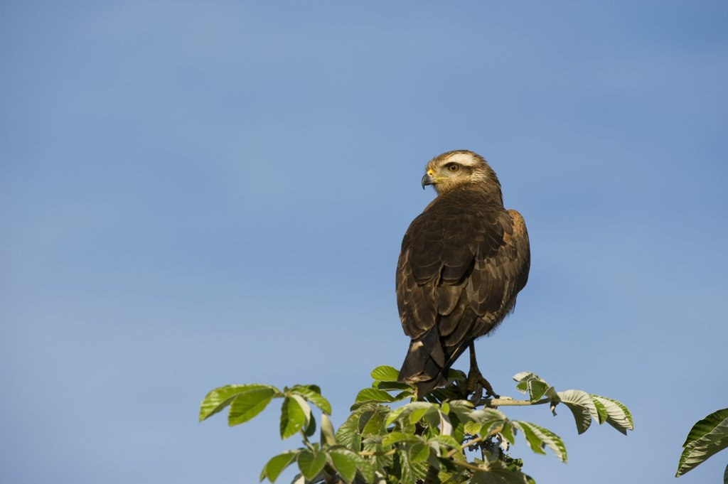 Stock Photo: 4168-10442 Brazil, Southern Pantanal, San Francisco Ranch, Female Snail Kite (Rostrhamus Sociabilis)
