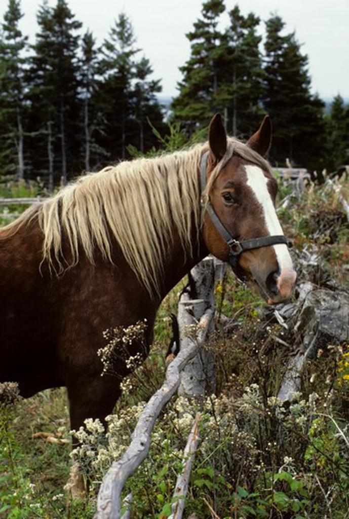CANADA, NOVA SCOTIA, CAPE BRETON, IONA, SCOTTISH HIGHLAND VILLAGE MUSEUM, HORSE : Stock Photo