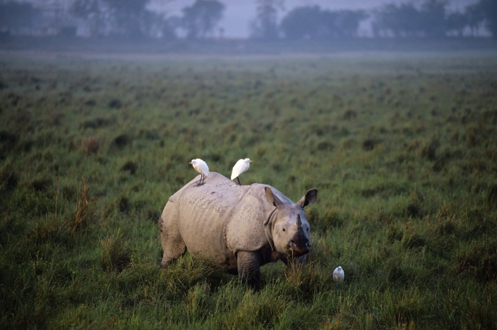 India, Assam Province, Kaziranga National Park, Indian One-Horned Rhino, Cattle Egrets : Stock Photo