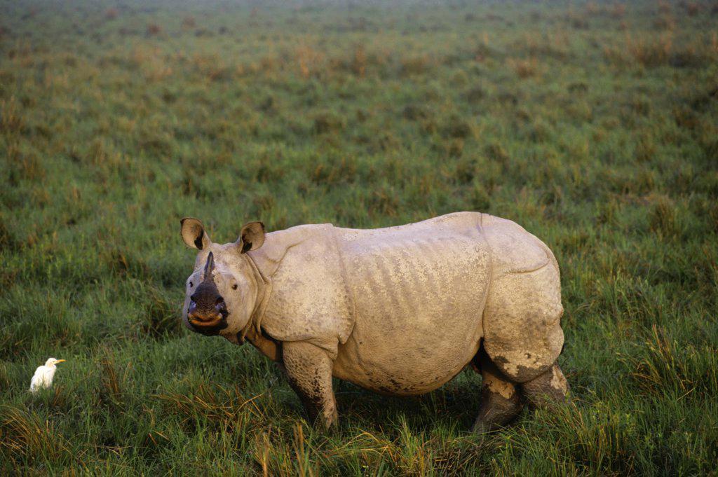 Stock Photo: 4168-10653 India, Assam Province, Kaziranga National Park, Indian One-Horned Rhino, Cattle Egret