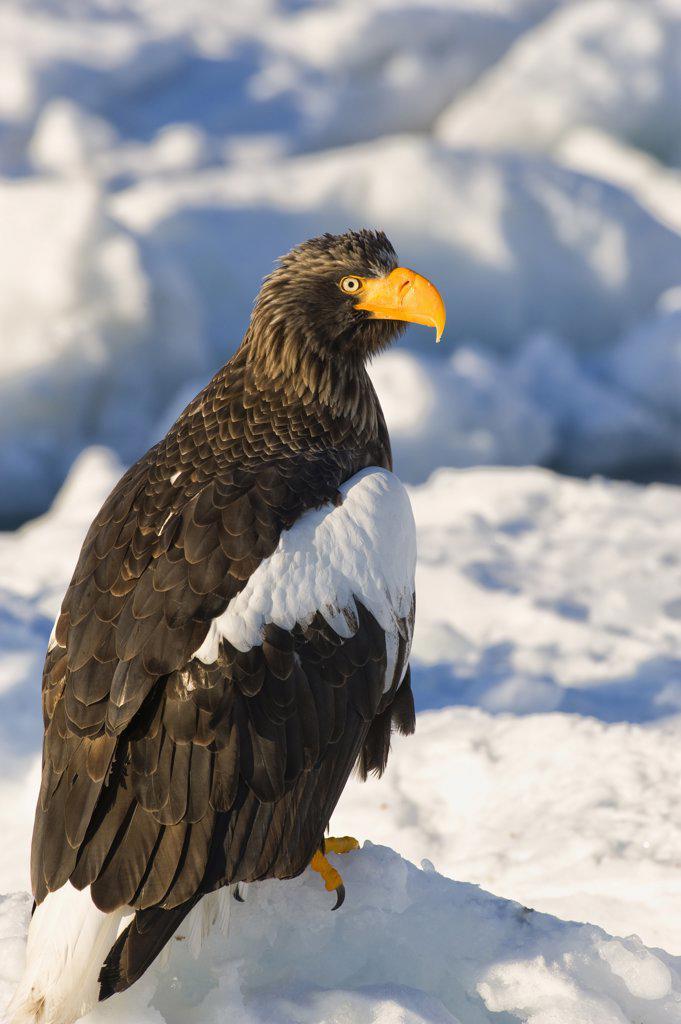 Stock Photo: 4168-10836 Japan, Hokkaido Island, Near Rausu, Pack Ice, Steller'S Sea Eagle (Haliaeetus Pelagicus) On Pack Ice