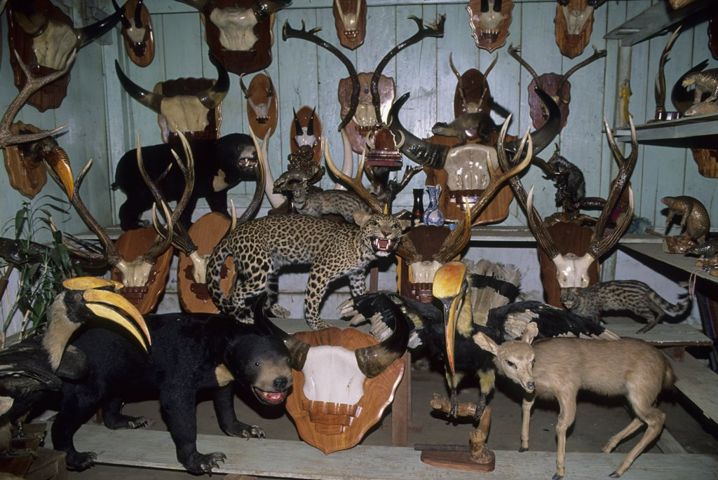 Stock Photo: 4168-11546 Vietnam,Central Highlands, Buon Ma Thuot, Endangered Taxidermic Rainforest Animals For Sale