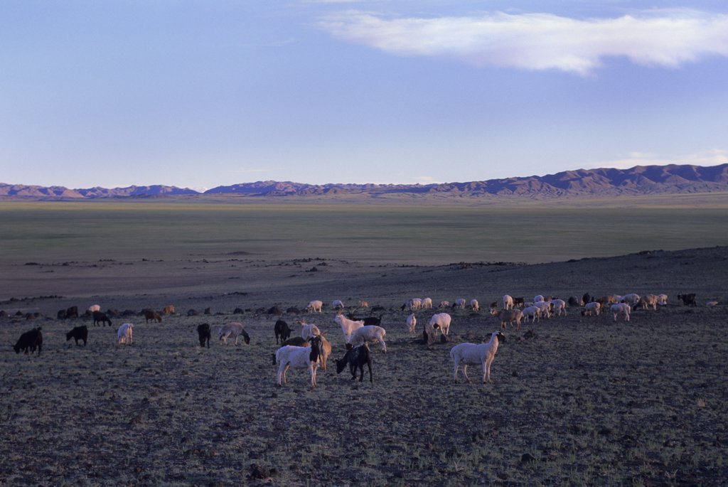 Stock Photo: 4168-11642 Mongolia, Gobi Desert, Near Dalanzadgad, Grasslands (Steppes), Goats And Sheep