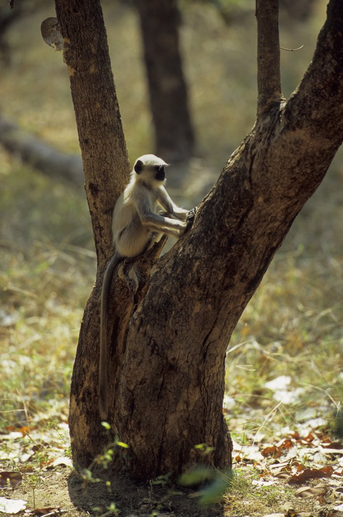 Stock Photo: 4168-11903 India, Bandhavgarh National Park, Black-Faced Langur Monkey