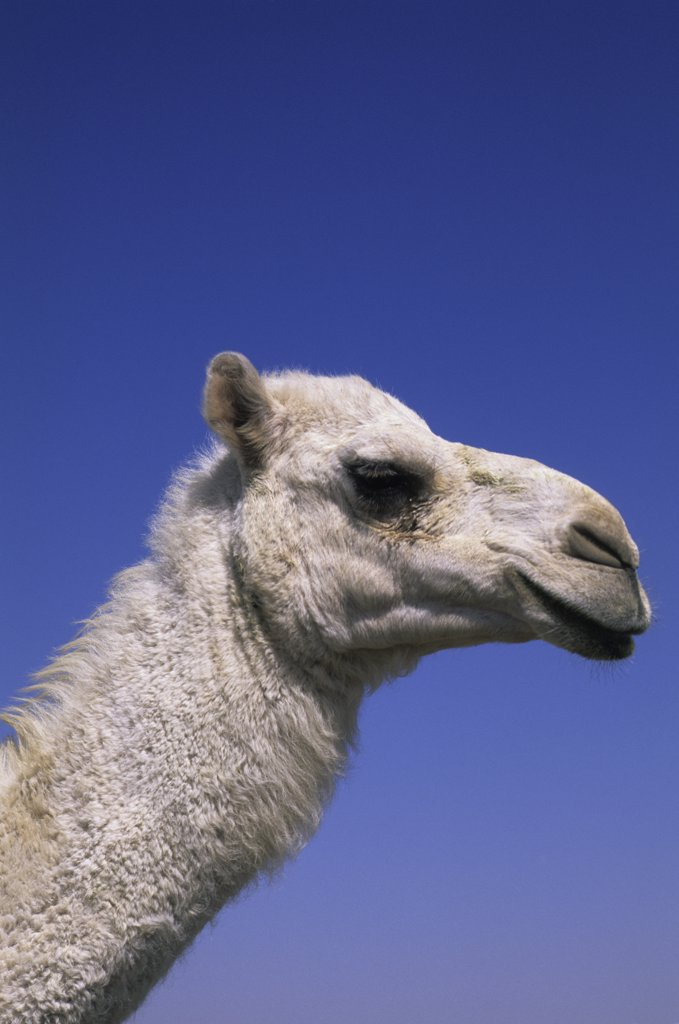 Saudi Arabia, Near Riyadh, Camel Market, Close Up Of Camel : Stock Photo