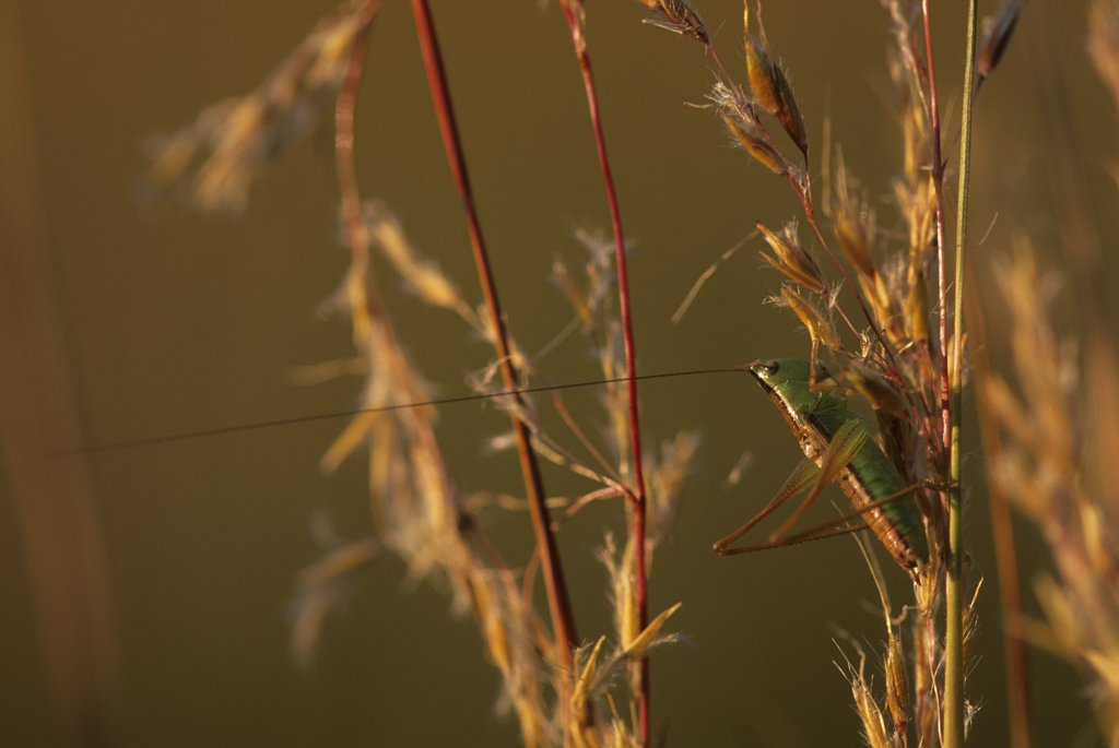 USA, Kansas, Near Strong City, Tallgrass Prairie, Indian Grass, Longhorn Grasshopper : Stock Photo