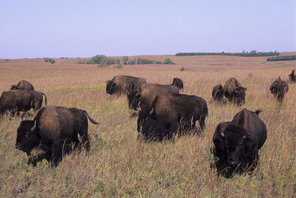 Stock Photo: 4168-13018 USA, Kansas, Flint Hills, Near Canton, Tallgrass Prairie, Maxwell Wildlife Refuge, Bison