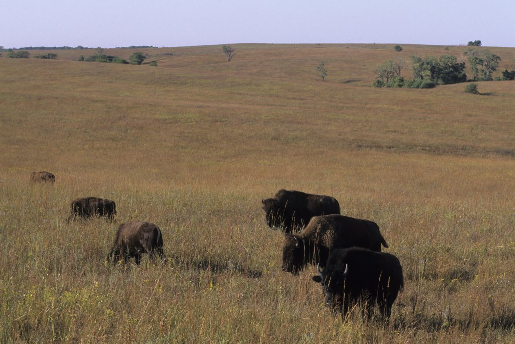 USA, Kansas, Flint Hills, Near Canton, Tallgrass Prairie, Maxwell Wildlife Refuge, Bison : Stock Photo